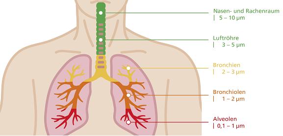 Nasen-und Rachenraum: 5 bis 10 Mikrometer, Luftröhre: 3 bis 5 Mikrometer, Bronchien: 2 bis 3 Mikrometer, Bronchiolen: 1 bis 2 Mikrometer, Alveolen: 0,1 bis 1 Mikrometer.